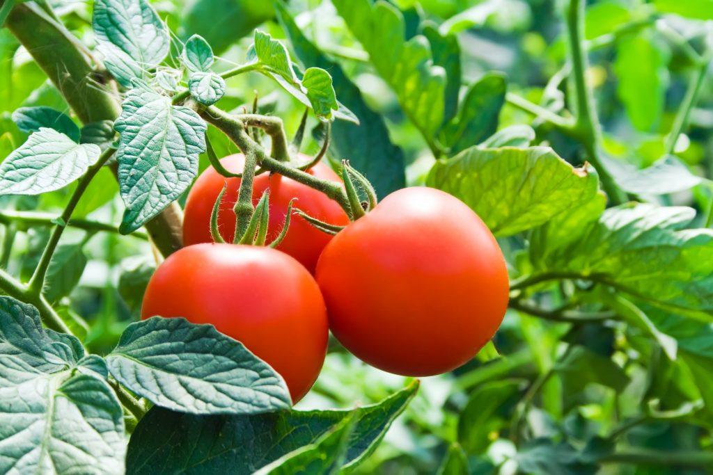 Close-up op tros tomaten aan een tomatenplant