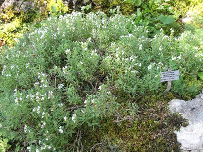Een plant van bergbonenkruid in de moestuin