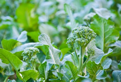 Broccoli Belstar F1