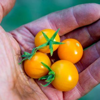 Kerstomaat Clementine