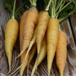 Vers geoogste wortels met loof