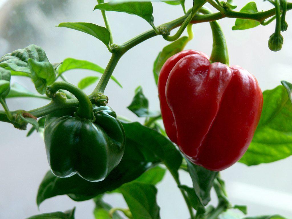 Peper habanero rood