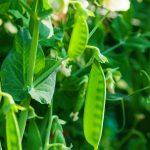 Closeup van peultjes of sugarsnaps in de moestuin