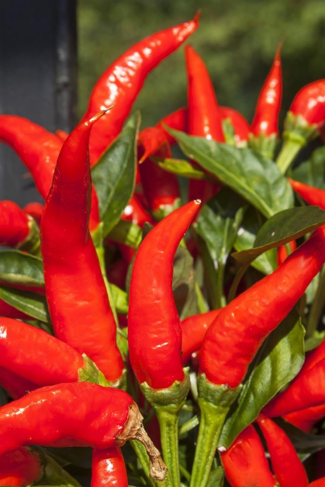 Rijpe hete rode pepers aan een peperplant