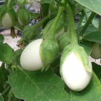 aubergine wit rond ei