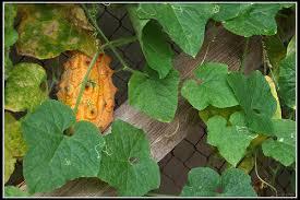 Kiwano vrucht aan de plant