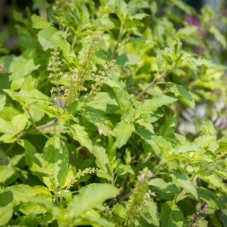 Citroenbasilicum