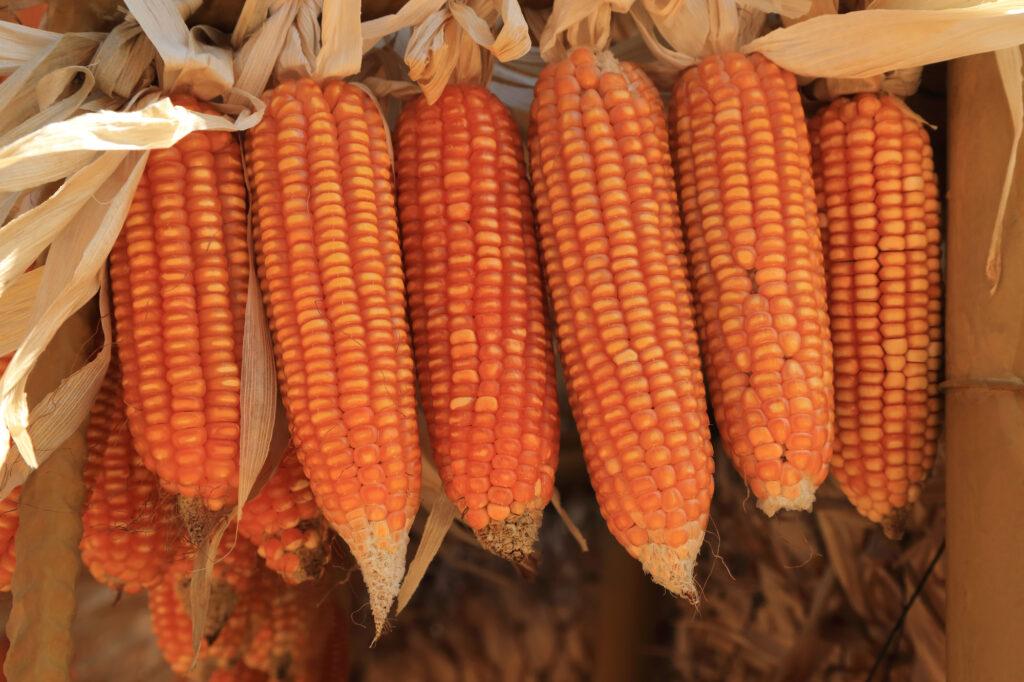maïskolven voor popcorn hangen te drogen
